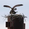 Osprey-copulating