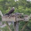Osprey_fledgie-9559