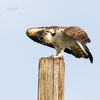Osprey_fledgie-9361