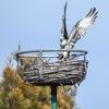 Dsc_9203_osprey_mating_ebird