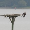 Osprey_little_neck_022