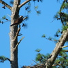 Parent_perched_above_the_nest._other_parent_out_fishing
