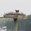 Osprey_little_neck_017