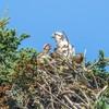 Osprey__chick_7-26-20__l._frost