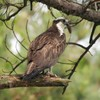 Osprey_little_neck_006