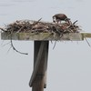 Osprey_little_neck_013