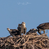 Ospreys_w_chicks_(1_of_1)-3
