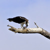 Fp_osprey_w_fish_in_tree_5-6-12_(17)s