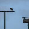 Dsc_0129_osprey_ebird