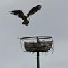 Dsc_0124_osprey_ebird