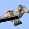 Osprey_george_fish_5816