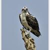 Osprey_portrait_092212