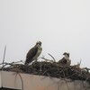 Pair_on_nest_6-23-20_cj