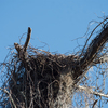 Osprey_nest_on_legofmutton