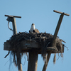 Osprey_on_cdm_field_pole
