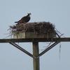 1st_osprey2021