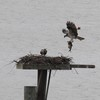 Osprey_little_neck_2012_006