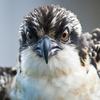 Square_bo_osprey