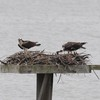 Osprey_little_neck_2012_016