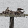Osprey_little_neck_2012_023