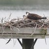 Osprey_little_neck_2012_033
