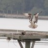 Osprey_little_neck_2012_056