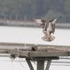 Osprey_little_neck_2012_056