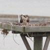 Osprey_little_neck_2012_086