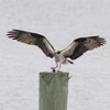 Osprey_little_neck_2012_075