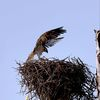 Fp_osprey_landing_on_nest_5-24-12_(75)s