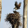 Fp_ospreys_on_nest_5-24-12_(101)s
