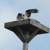 Osprey_harbor_pilot_2012_054