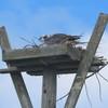 Rv_sharp_dock_nest_2021_egg_laying