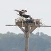 Osprey_harbor_pilot_2012_038