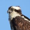 Boat_yard_nest_2021_osprey