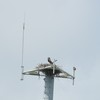 Osprey_harbor_pilot_2012_062