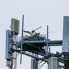 Two_osprey_on_nest_rt_31
