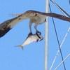 Osprey_w_large_catch_2a