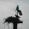 Osprey_and_young_yacht_club_6-5-12