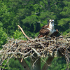 Queen's_lake_osprey_mom_and_chick_21