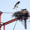Ospreys_20120611_0158
