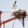 Ospreys_20120611_0188_copy
