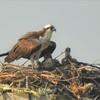 Newest_osprey