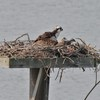 Osprey_lynnhaven_river_005
