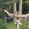 Osprey_lynnhaven_river_036