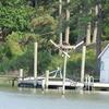Osprey_lynnhaven_river_046