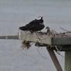 Osprey_lynnhaven_river_026