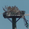 Osprey_nest_port_of_maryland_north_side_locust_point_marine_terminal_baltimore__md_9-24-2021