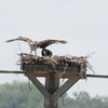 Osprey_2012_044
