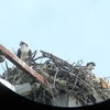 Ospreys_clark_center_young_6-18-12